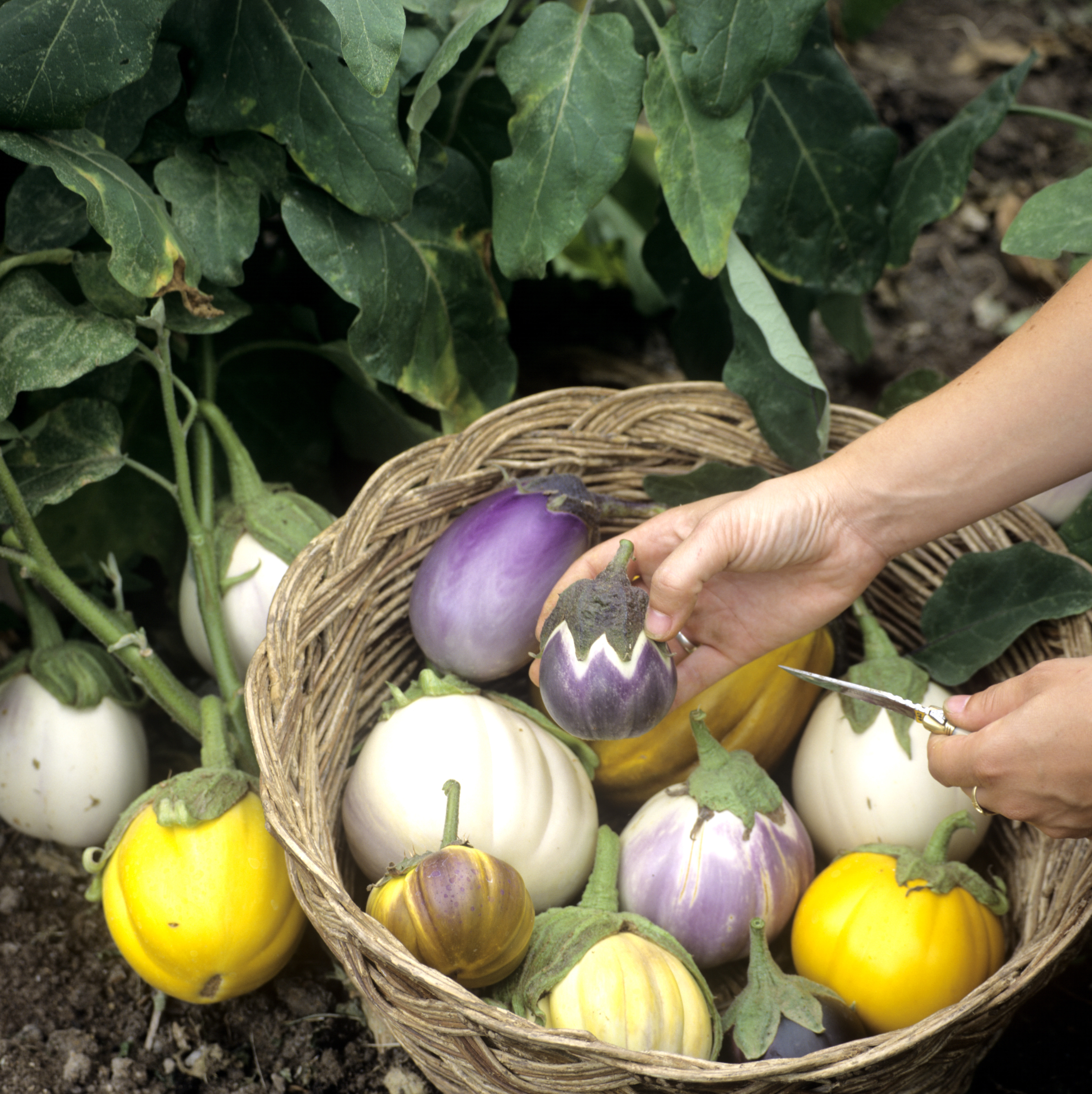 aubergine planter et tailler ooreka