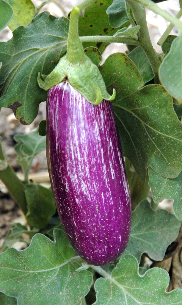 aubergine : planter et tailler – ooreka