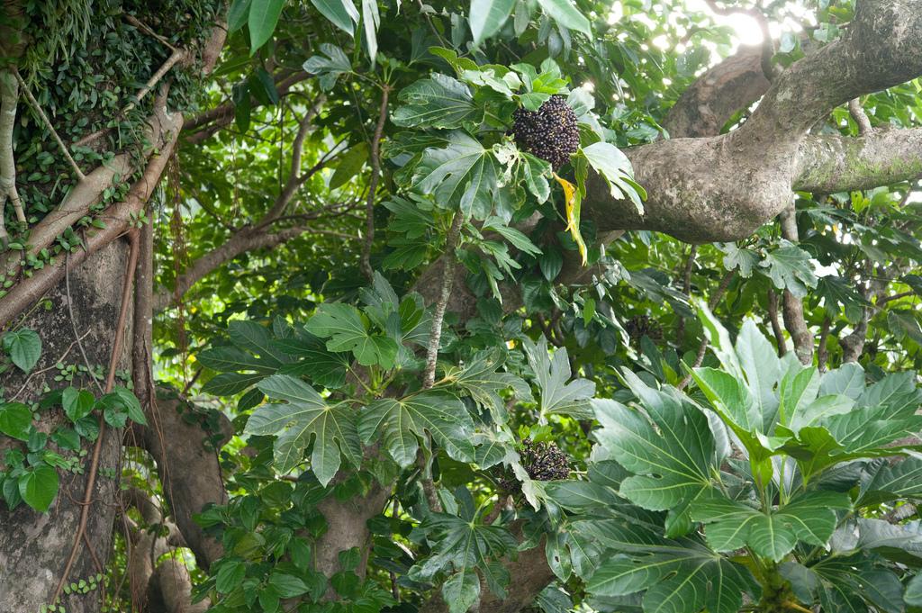 Osmoxylon planter et cultiver ooreka for Tous les plantes