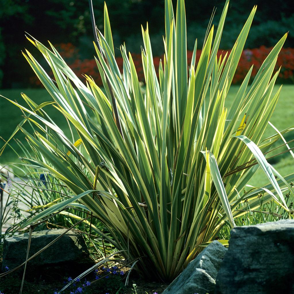 Phormium : planter et cultiver – Ooreka