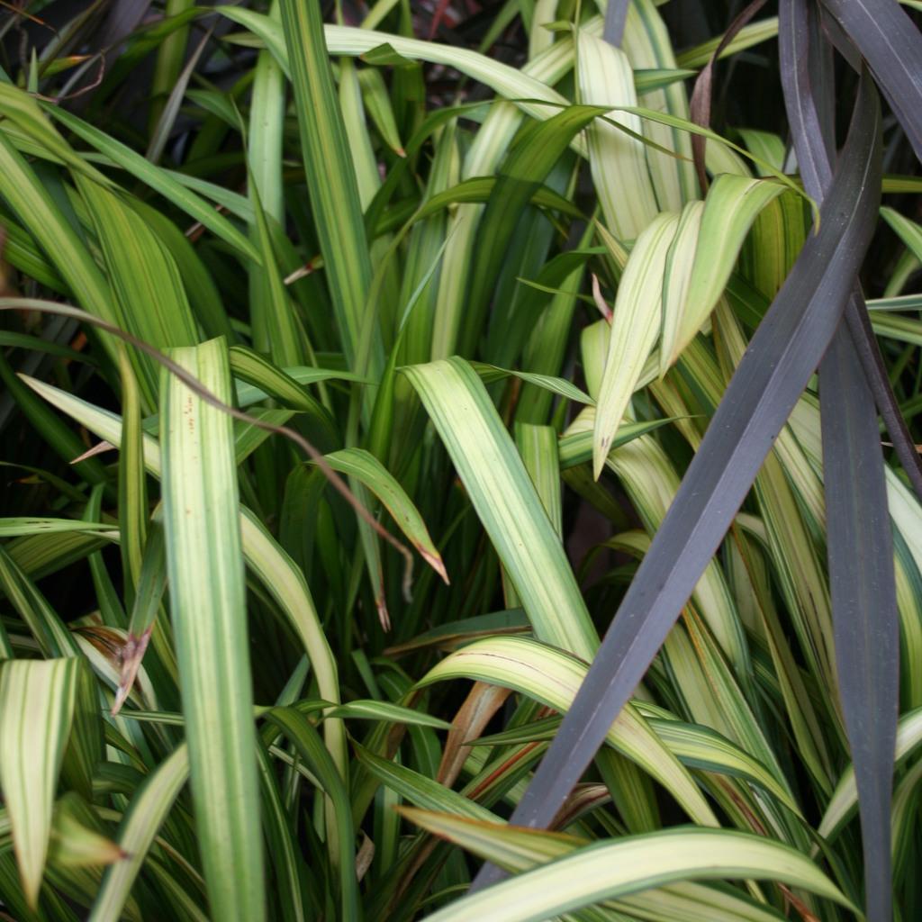 Plantes de grandes dimensions Phormium 'Yellow Wave'