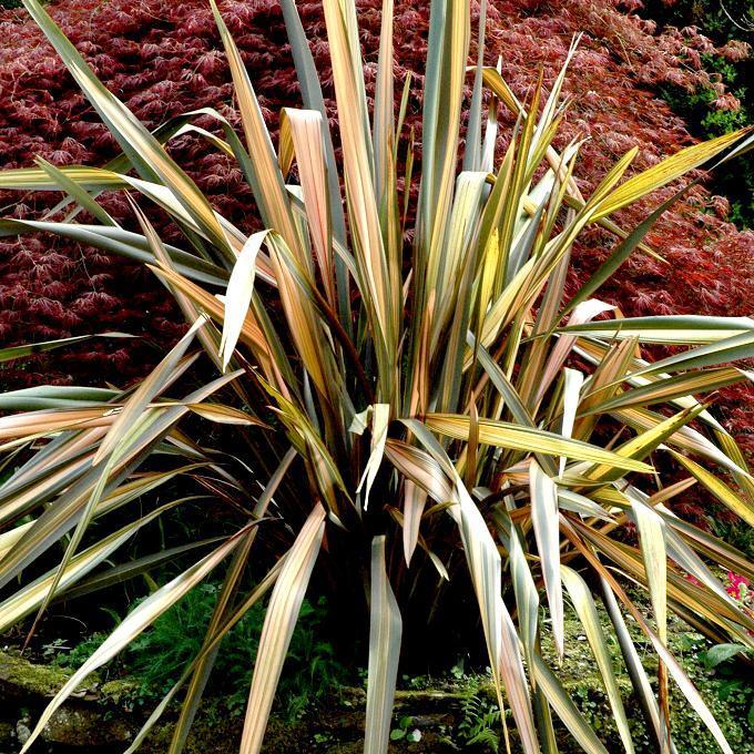 Phormium planter et cultiver ooreka - Plante a feuilles rouges ...