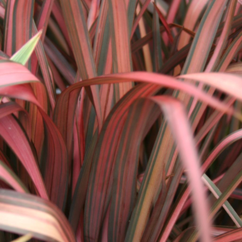 Espèces moyennes Phormium 'Pink Panther'