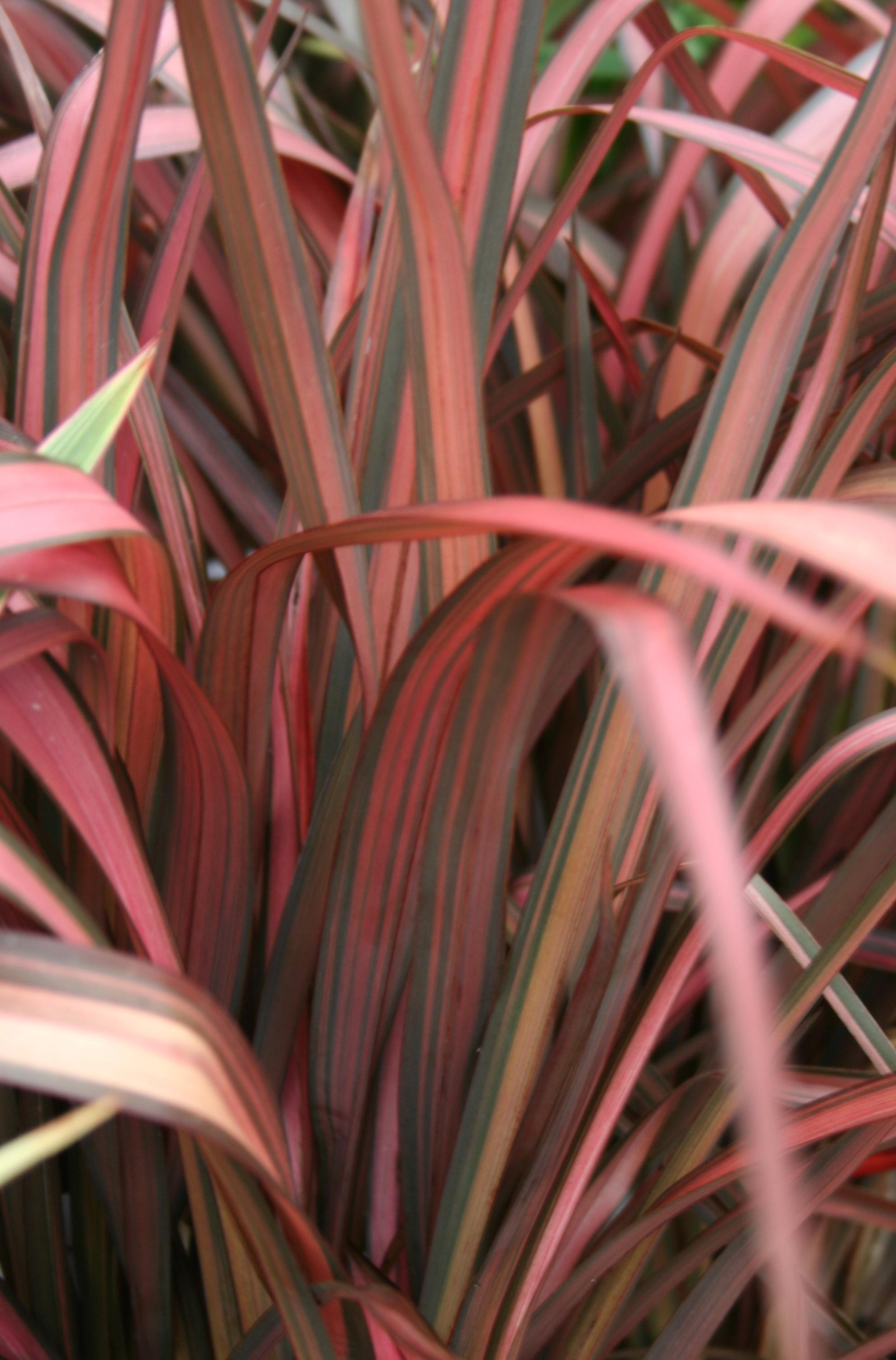 phormium   planter et cultiver  u2013 ooreka