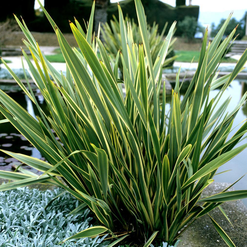 Plantes de grandes dimensions Phormium tenax 'Variegatum'
