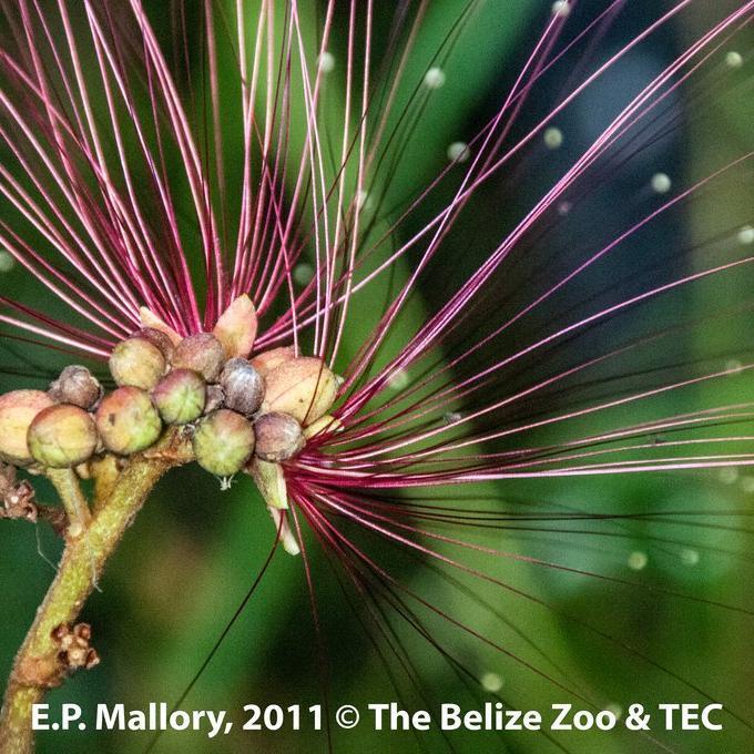 Espèces tropicales pour culture d'intérieur ou zone sans gel. Calliandra houstoniana