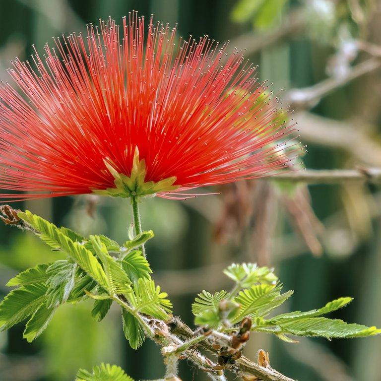 Les plus rustiques Calliandre de tweedie (Calliandra tweedii syn. Inga pulcherrima)