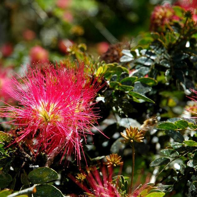 Espèces tropicales pour culture d'intérieur ou zone sans gel. Pompon de marin (Calliandra haematocephala)