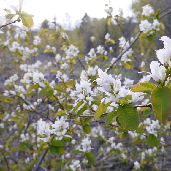 Amélanchier à feuilles d'Aulne (Amelanchier alnifolia 'Obelisk')