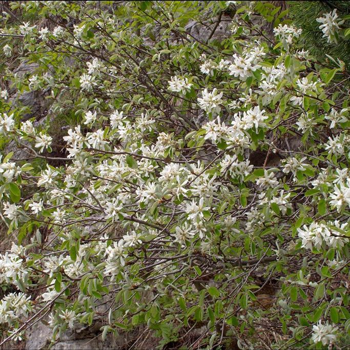 Amélanchier commun (Amelanchier asiatica ou ovalis)