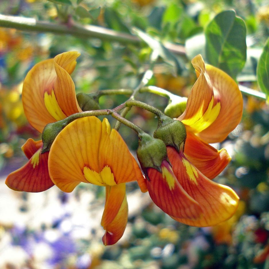 Espèce type Baguenaudier (Colutea arborescens)