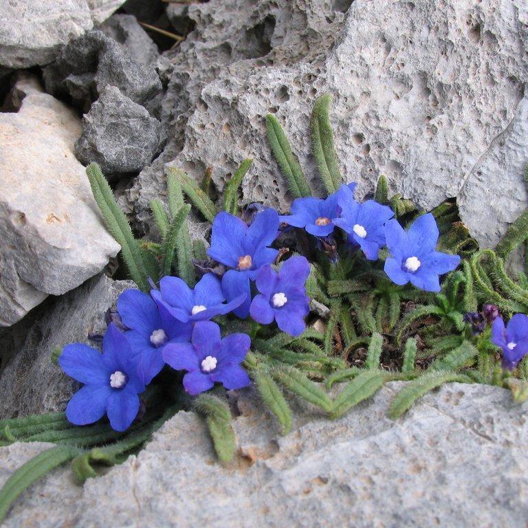 Espèces vivaces Buglosse naine (Anchusa cespitosa)