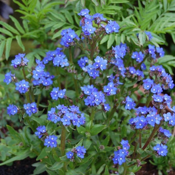 Espèce bisannuelle Anchusa capensis 'Blue Angel'