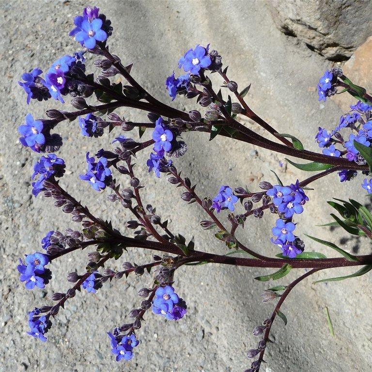 Espèce bisannuelle Buglosse du Cap (Anchusa capensis)