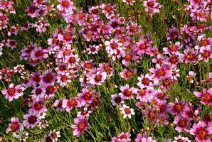Semis et plantation du coréopsis