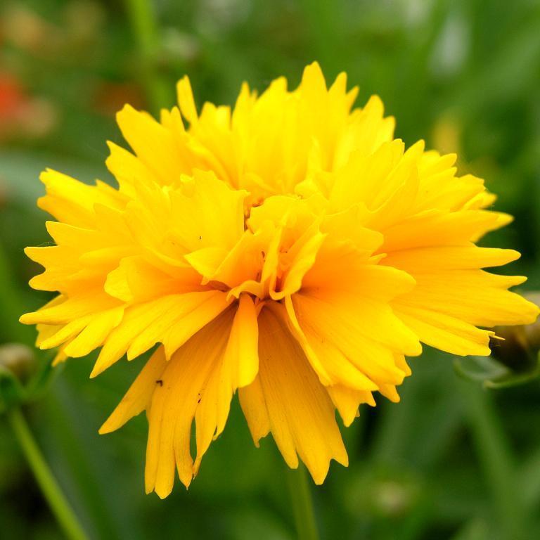 Espèces vivaces 'Sunburst' (Coreopsis grandiflora)