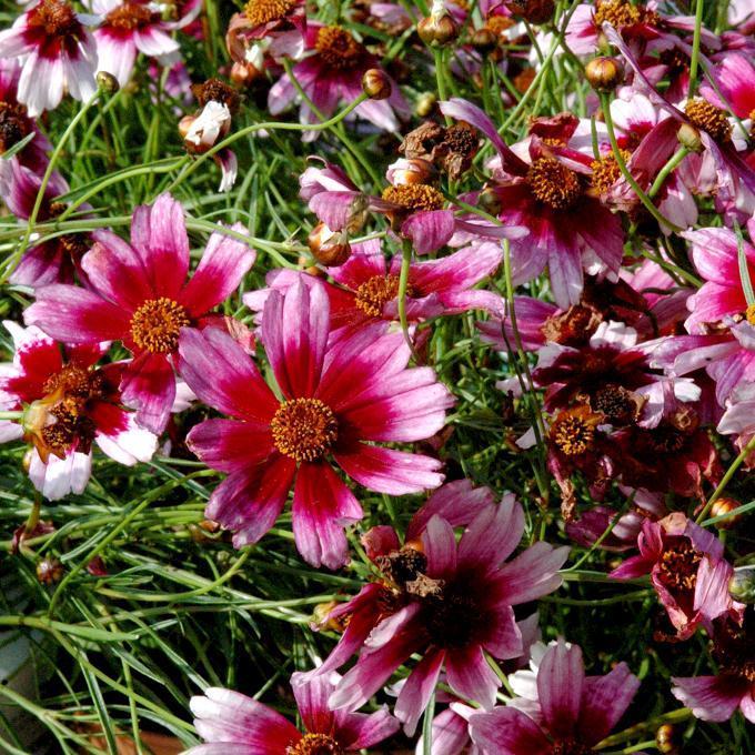 Espèces vivaces Sweet Dreams® (Coreopsis rosea)