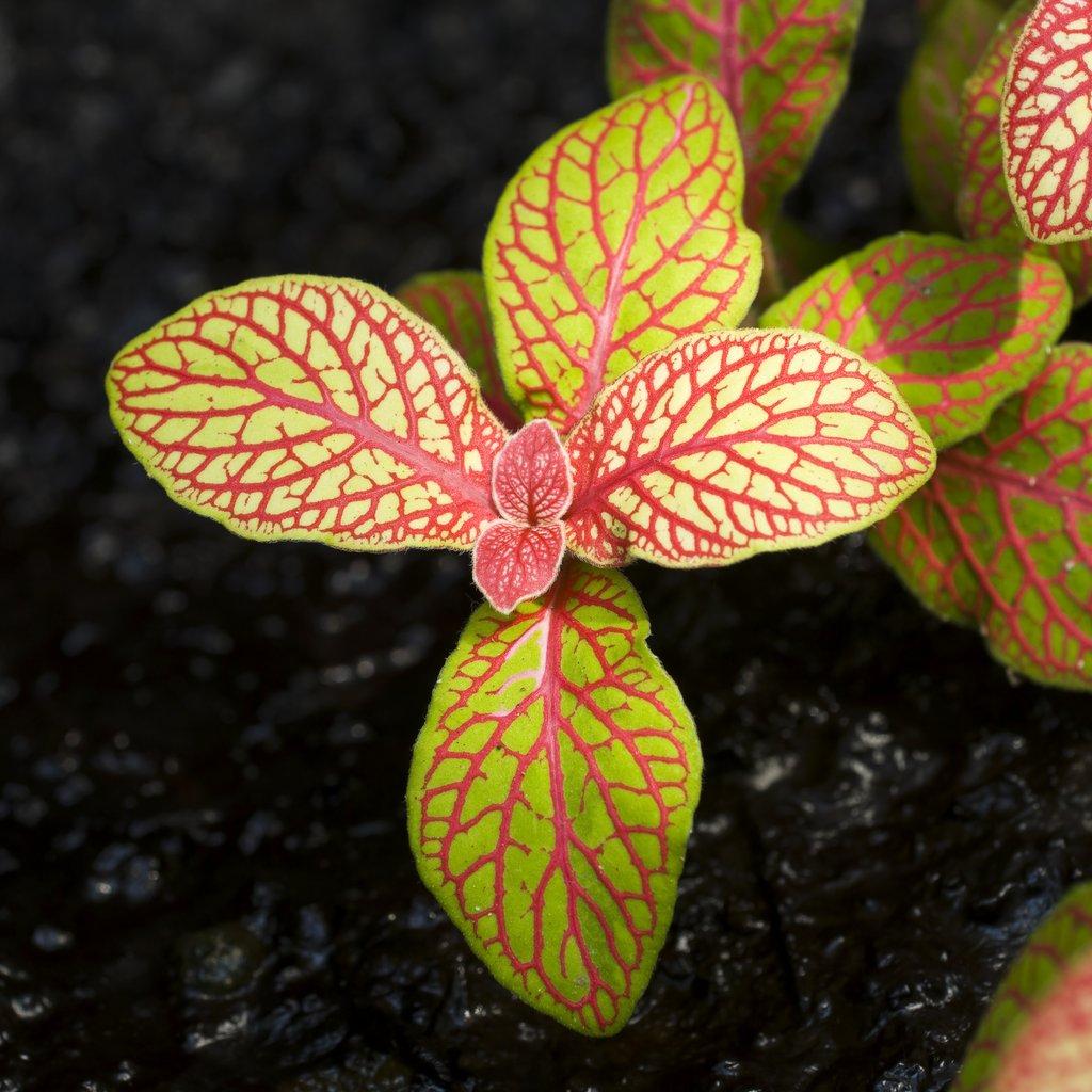 fittonia   planter et cultiver  u2013 ooreka