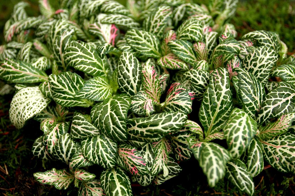 Fittonia planter et cultiver ooreka - Plante a feuilles rouges ...