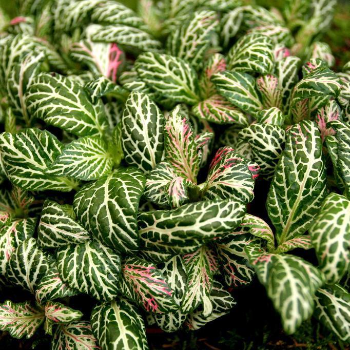 Fittonia aux veines blanches (Fittonia albivenis) Espèce type