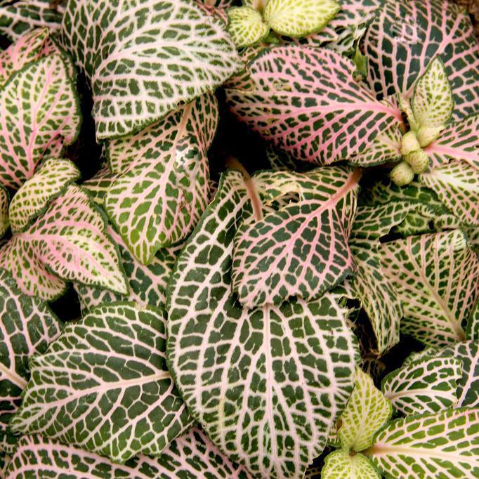 Fittonie de Verschaffelt (Fittonia verschaffeltii) 'Argyroneura'