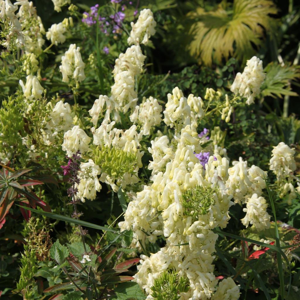 Aconits à fleurs de couleur claire, blanche ou crème Aconit septentrional (Aconitum lycoctonum subsp. lycotonum)