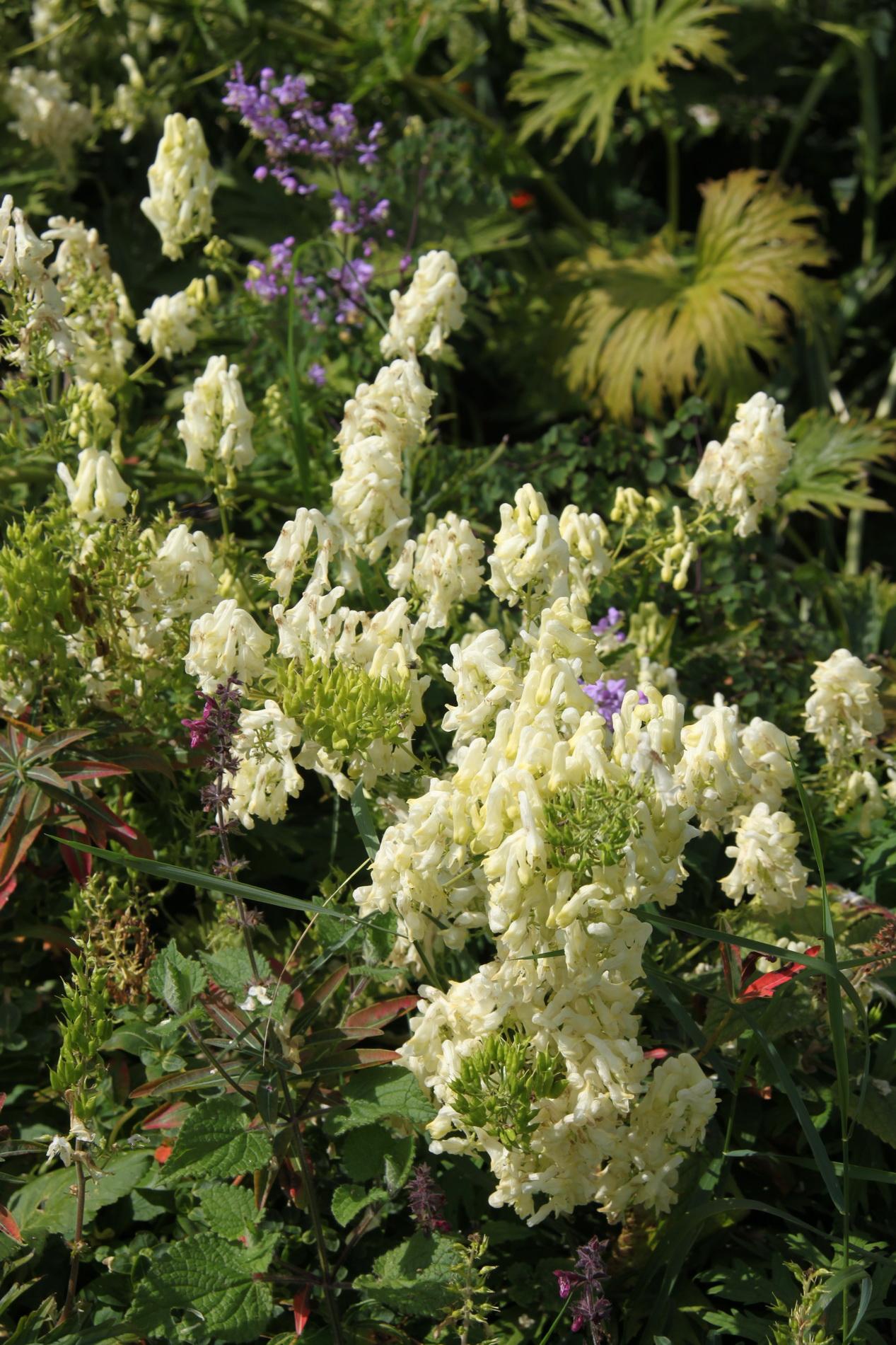 Aconit Planter Et Cultiver Ooreka