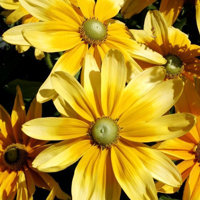 Espèces annuelles ou bisannuelles Rudbeckia hirta