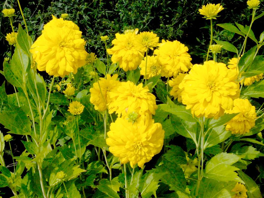 Rudbeckia planter et cultiver ooreka for Plante jaune