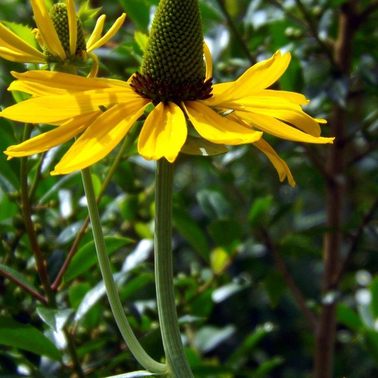 Espèces vivaces Rudbeckia maxima