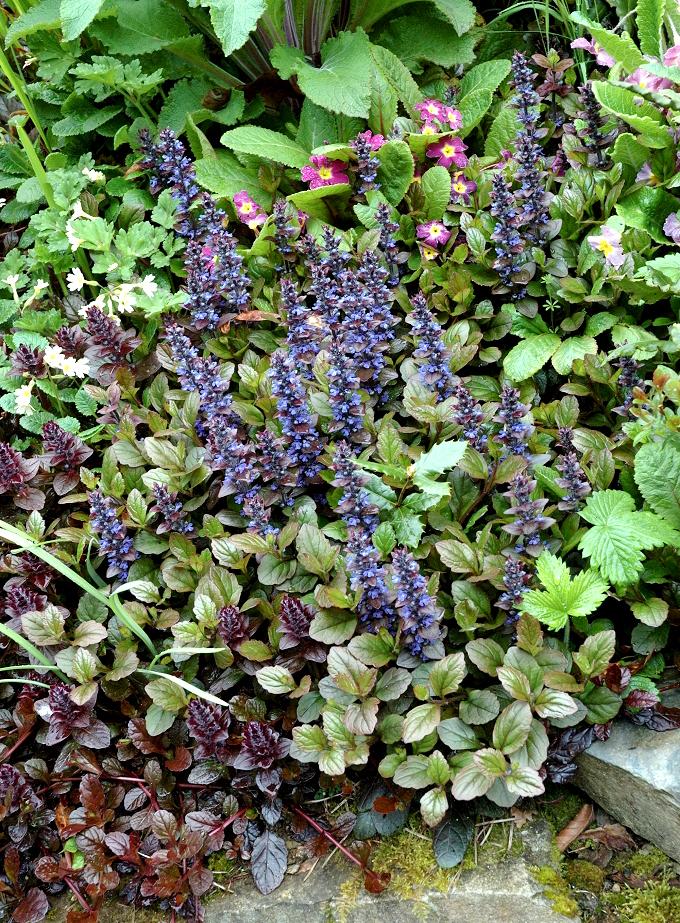 Bugle planter et cultiver ooreka for Plante 6 mois
