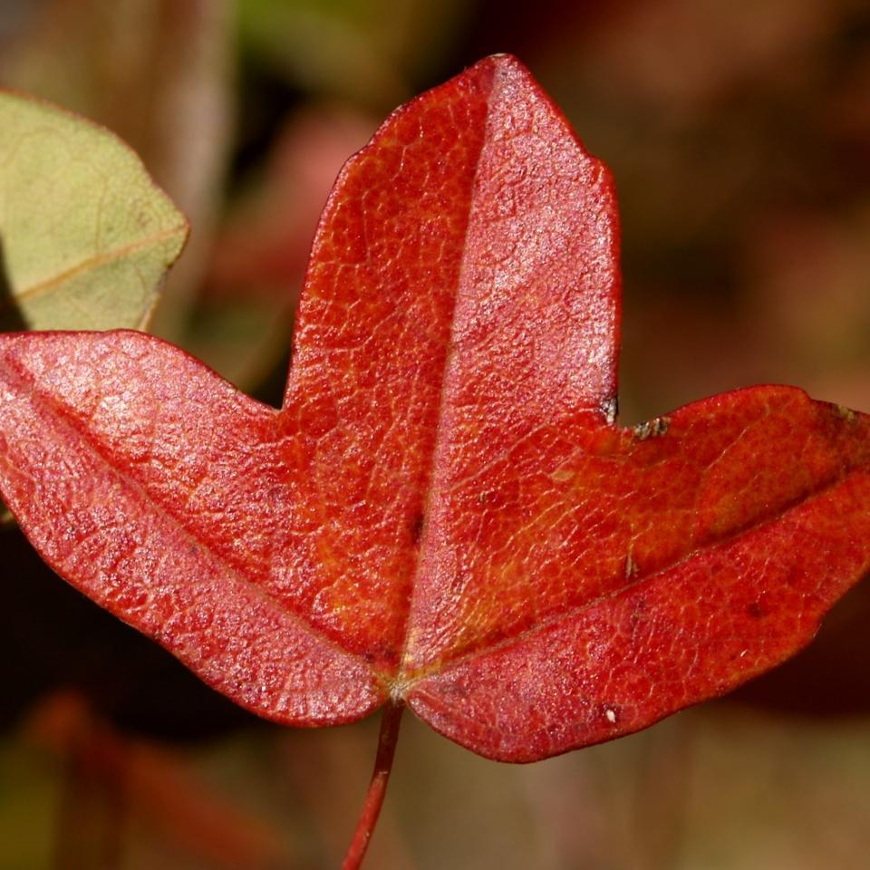 Érable de Montpellier (Acer monspessulanum)