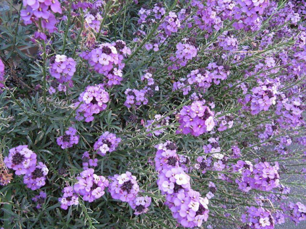 Erysimum : planter et cultiver – Ooreka