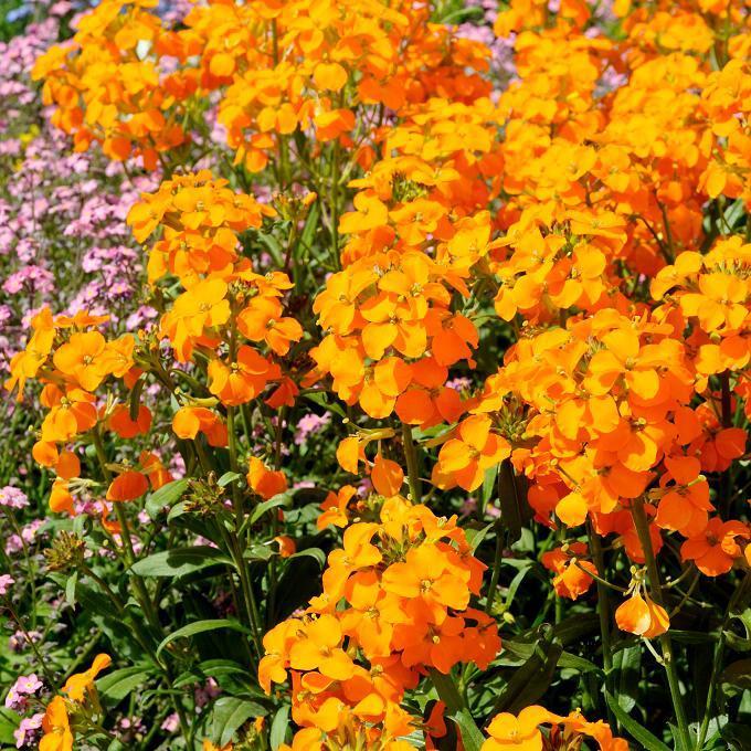 Variétés vivaces Giroflée des murailles (Erisymum cheiri) et nombreux cultivars