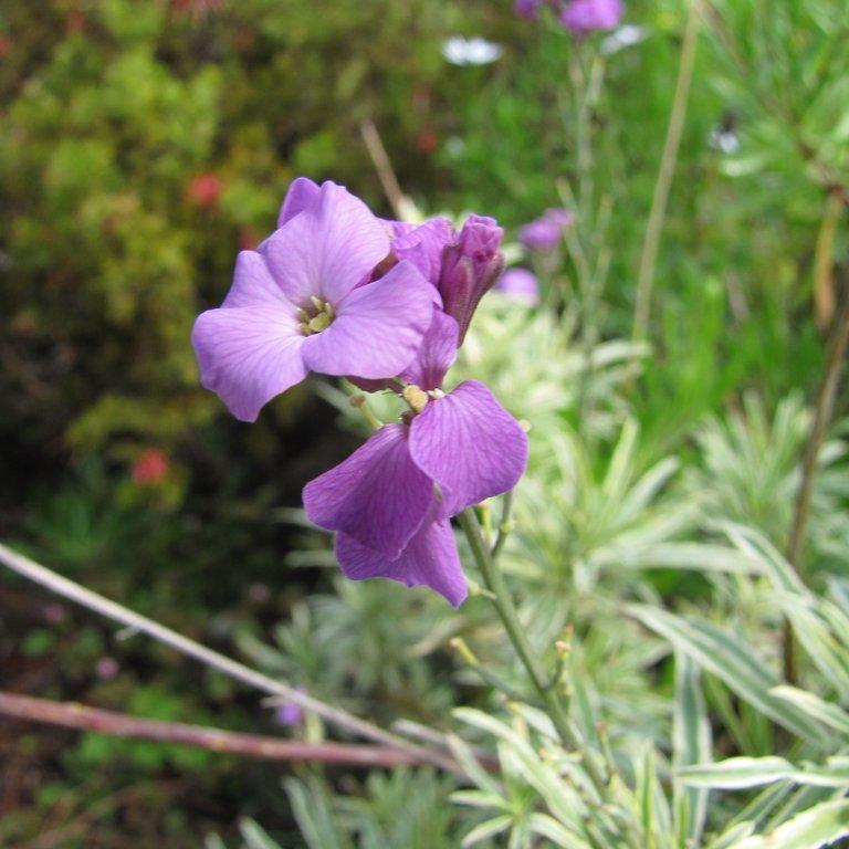 Variétés vivaces Erysimum à feuilles de lin (Erysimum linifolium) et cultivars