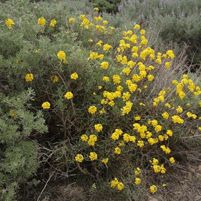 Variétés vivaces Erysimum suffrutescens