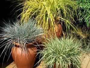 Plantation de <em>Festuca </em>