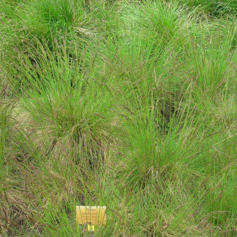 Espèces de moyenne et grande taille Fétuque améthyste (Festuca amethystina)