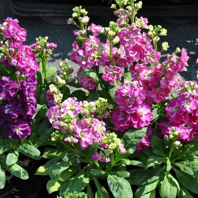 Variétés à fleurs simples Giroflée d'été ou giroflée quarantaine (Matthiola incana)