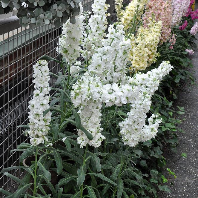 Variétés à fleurs doubles 'Bermuda'