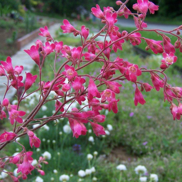 Heuchera brizoides 'Red Spangles'
