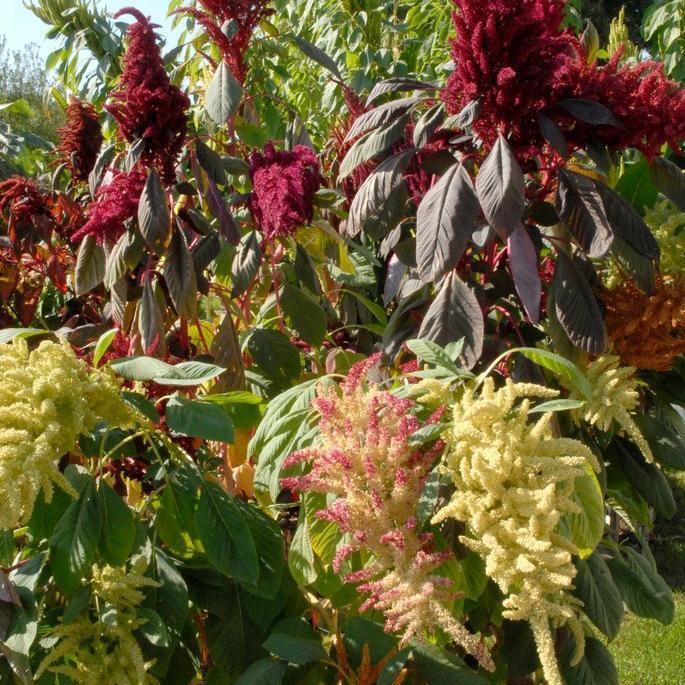 Amarante couleur de sang (Amaranthus hybridus ssp cruentus)