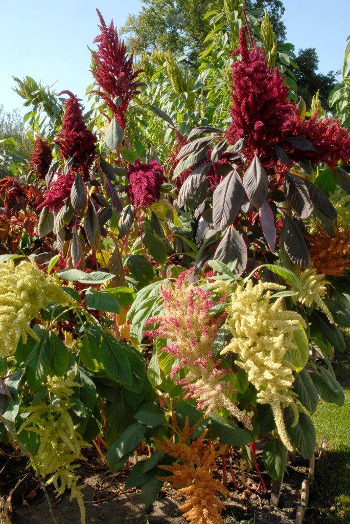 Amarante semer et planter ooreka for Type de plante