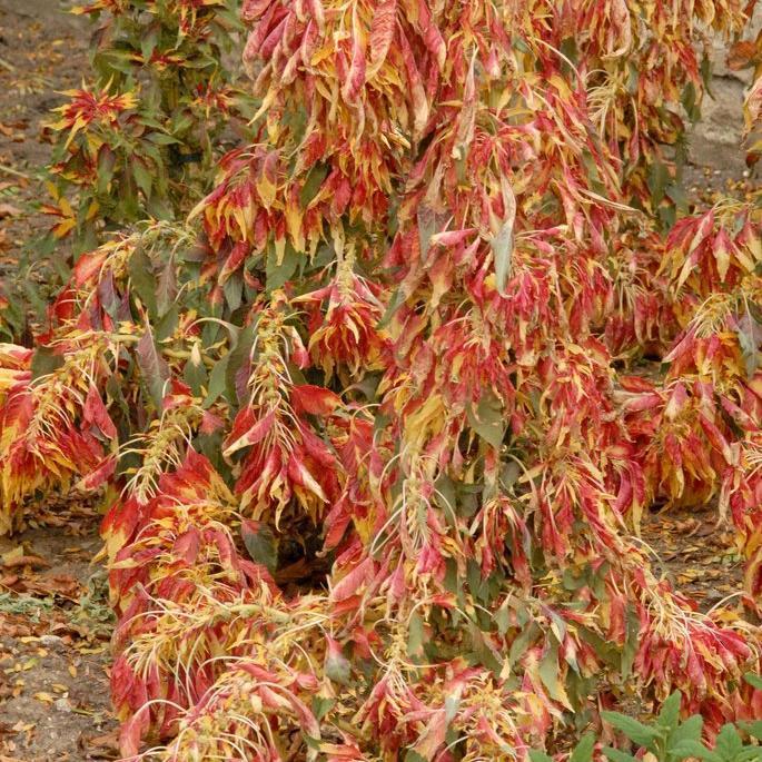 Amarante tricolore (Amaranthus tricolor) 'Joseph Coat's'