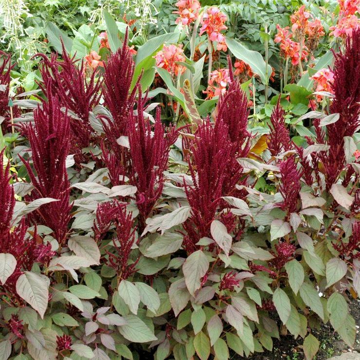 Amarante paniculée (Amaranthus hypochondriacus)