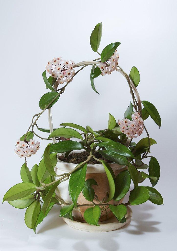 hoya   planter et cultiver  u2013 ooreka