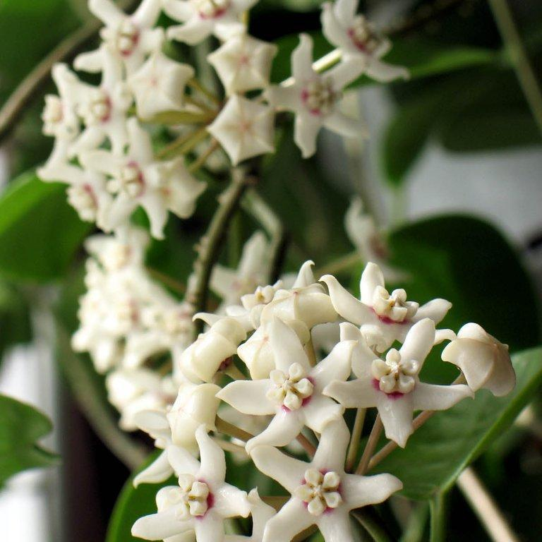 Hoya d'Australie (Hoya australis)