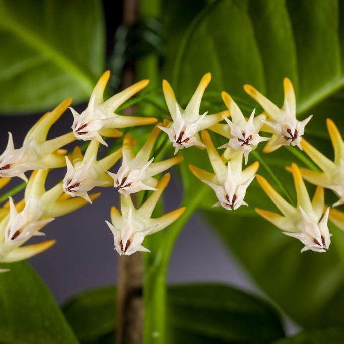 Hoya aux nombreuses fleurs (Hoya multiflora)