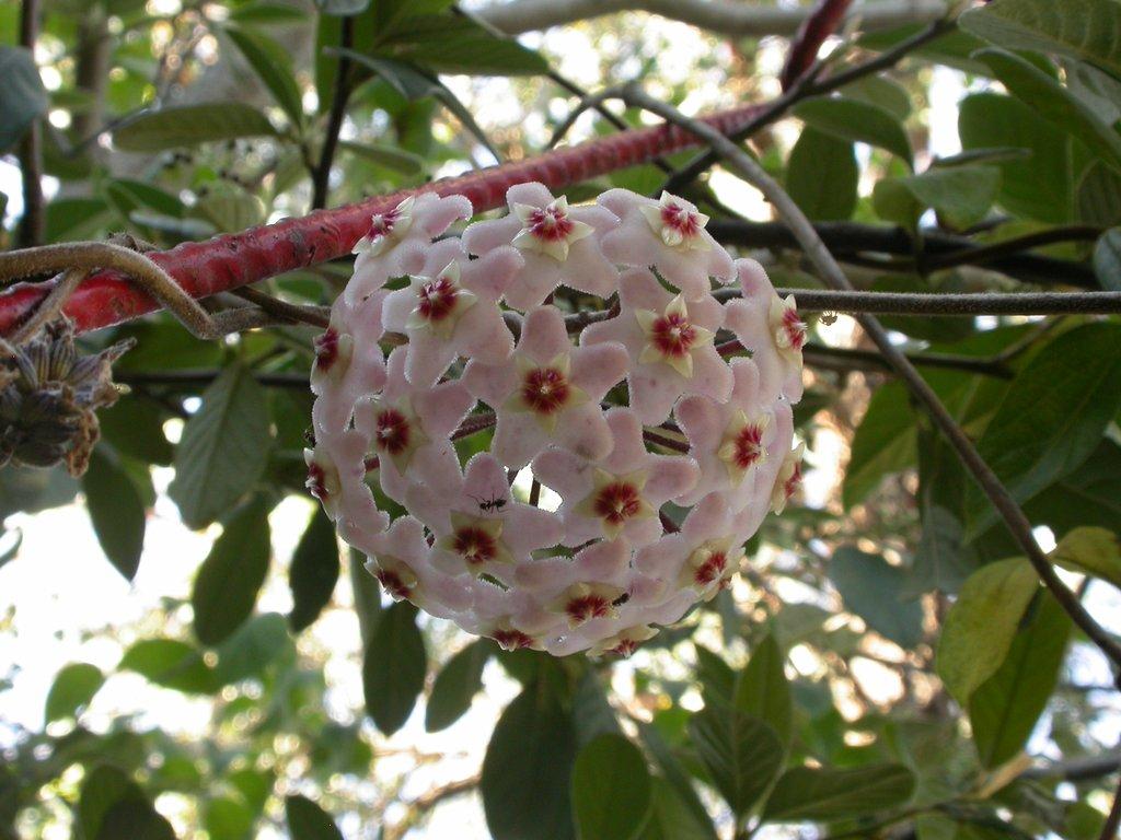 Hoya planter et cultiver ooreka for Chaine de coeur plante entretien