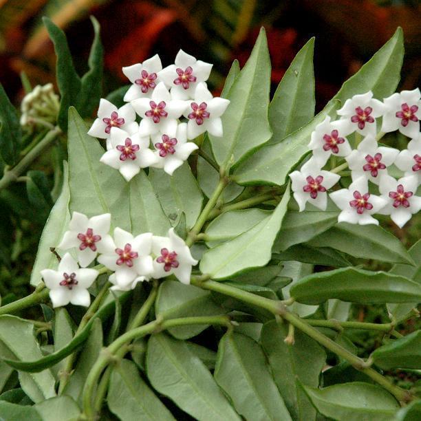 Hoya bella ou lanceolata